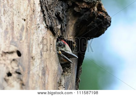 Great Spotted Woodpecker Chick In Nest Hollow