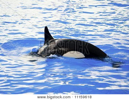Picture of a killer whale in the water