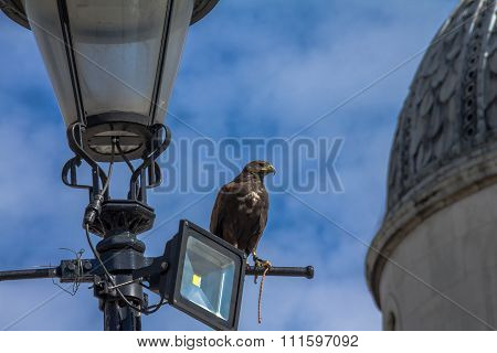 Falcon On Duty  For   Struggling  With Pigeons . Trafalgar Square. London. Uk