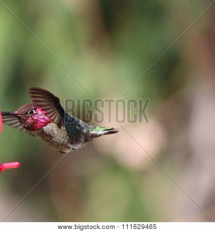 Hummingbird face