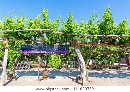 Grape Vines For Pisco