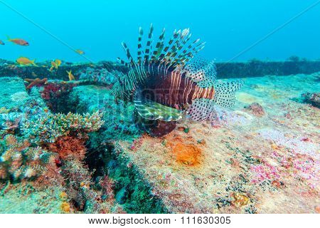 Dangerous Lion Fish Near Shipwreck