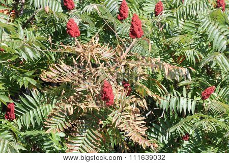 Sumac, Staghorn (Rhus typhina)