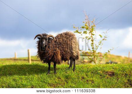 Black Sheep Ram