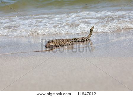 snake crawls to the sea