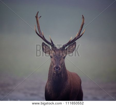 Red Deer With Antlers