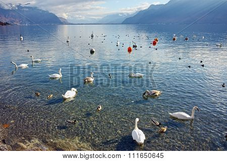 Swans swimming in Lake Geneva, Vevey, canton of Vaud