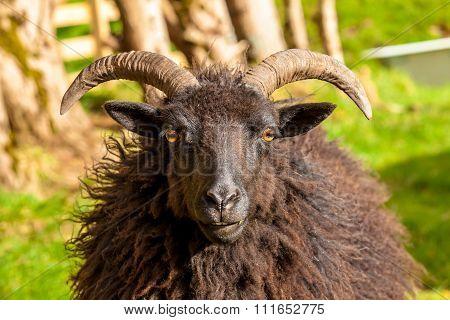 Black Male Sheep