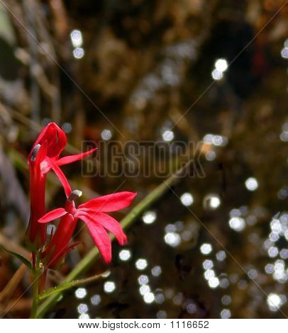 Red Water Flowers