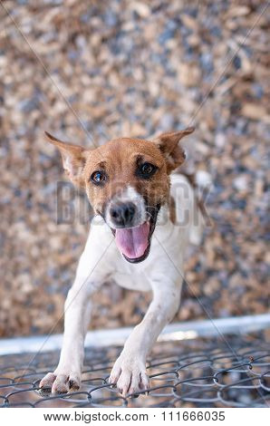 Happy Rat Terrier Dog At A Chain Link Fence