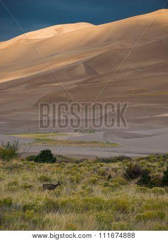 Wild Deer Sand Dunes Colorado