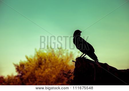 Silhouette Of A Crow On Stone Over Nature Background. Cross Process.