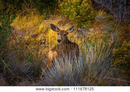 Wild Deer Looking Towards The Camera Colorado Wildlife