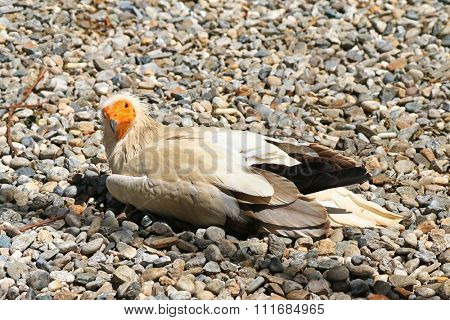 The Egyptian vulture (Neophron percnopterus) also known as white scavenger vulture, pharaoh's chicken sitting on pebbles