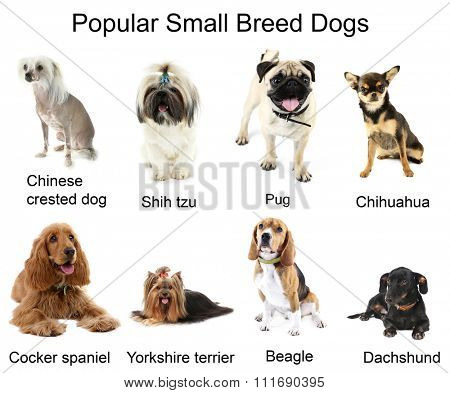 Different small breeds of dogs together, isolated on white