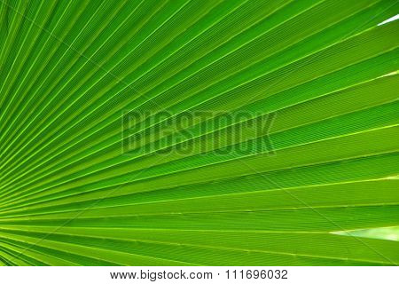 Palm leaves closeup