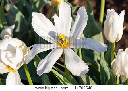 Aging Tulip