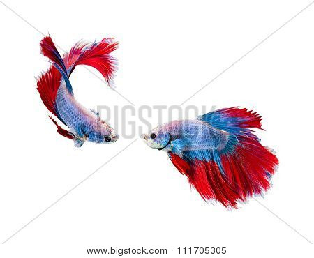 Capture The Moving Moment Of White Siamese Fighting Fish , Betta Isolated On White Background.