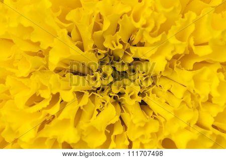 Close-up Marigolds