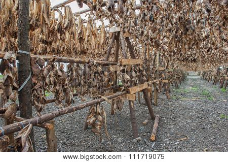 Stockfish cod drying in the sun hanging on the wooden construction, Iceland