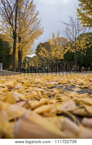 View Of Yellow Ginkgo Trees In Japan