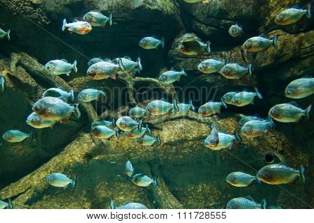 flock of piranhas swim nature wildlife.