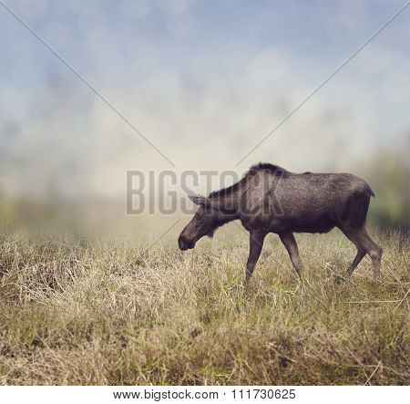 Female Moose Walking on the Field