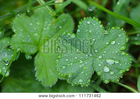 Closeup photo of drops of water on Lady's mantles leaves (Alchemilla)