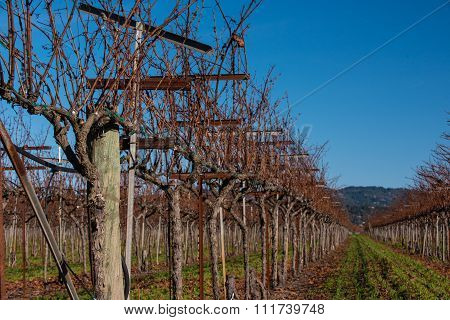 Wine Grape Vines With Grass Between Rows