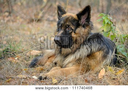 Lying German Shepherd Dog