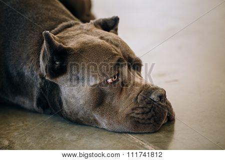Brown Adult Cane Corso Close Up Portrait
