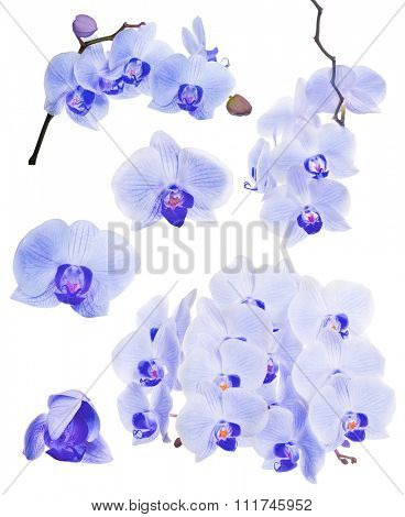 set of blue orchid flowers isolated on white background