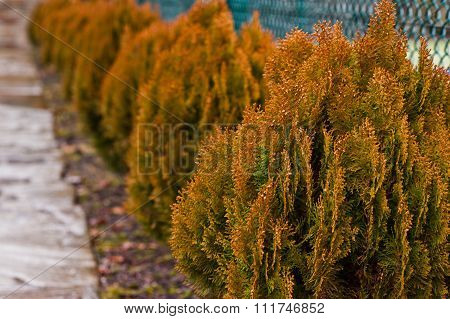 Yellow Thuja Occidentalis, Conifer Trees