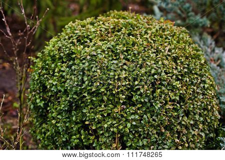 Boxwood Of Lawns On Garden