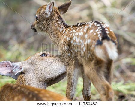 Mom deer licking Fawn, focus on moms eye
