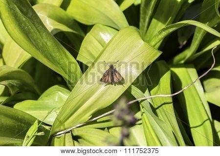 Brown Moth On A Green Leaf