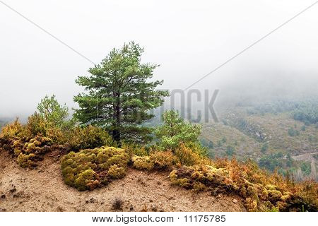 landscape with pine-tree