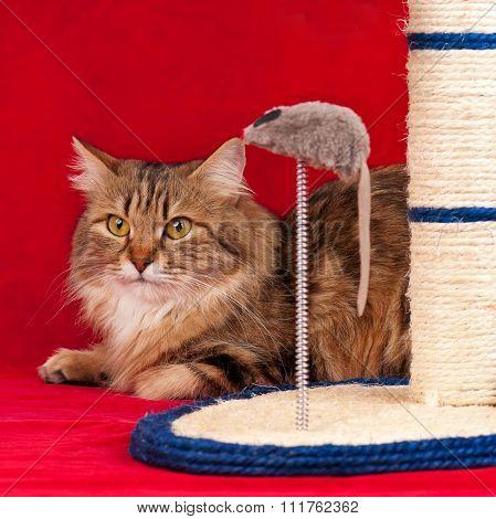 Cute Siberian Cat