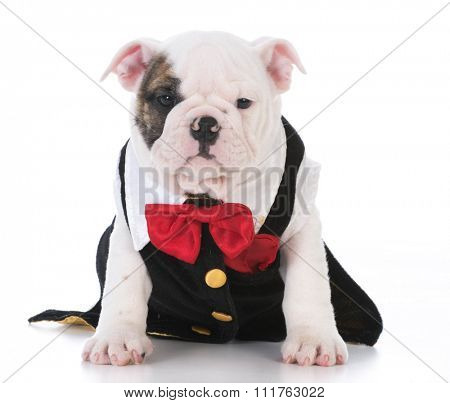 male bulldog puppy wearing tuxedo and red bowtie on white background
