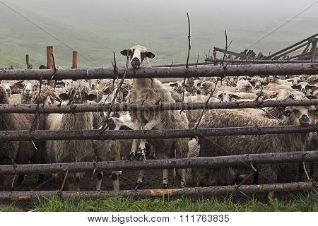 Sheeps Behind Fence 1