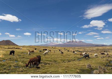 Lamas and Alpacas in Sajama National Park
