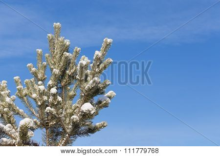 Snow-covered Pine Branches