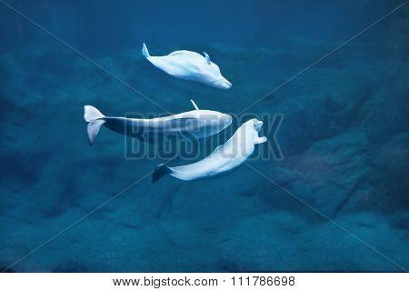 Three beluga whales diving in deep dark water