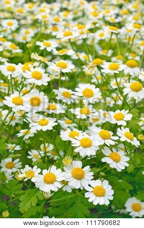 Tanacetum Parthenium, Flowers Feverfew In The Garden
