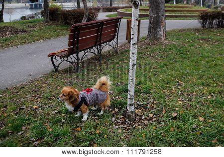 Pekingese dog walk