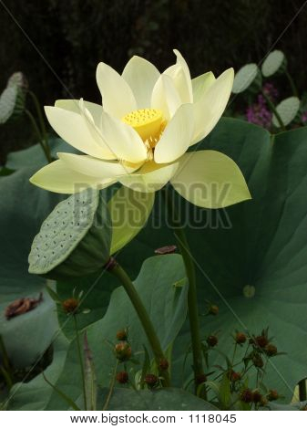 Giant White Lotus