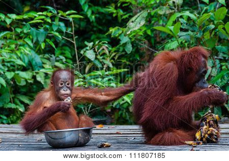 Baby Orang Utan sitting in a bowl and his mother, Indonesia