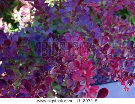 The Branches Of Barberry