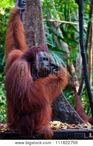 Orang Utan Alpha male hanging on a tree in the jungle, Indonesia