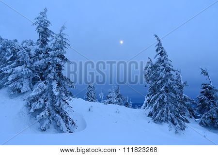 Spruce forest in winter. Landscape with moonlight at dusk. Carpathians, Ukraine, Europe